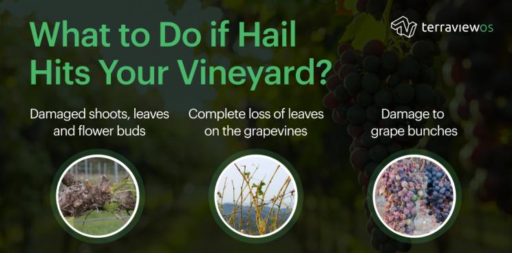 Hail in vineyard