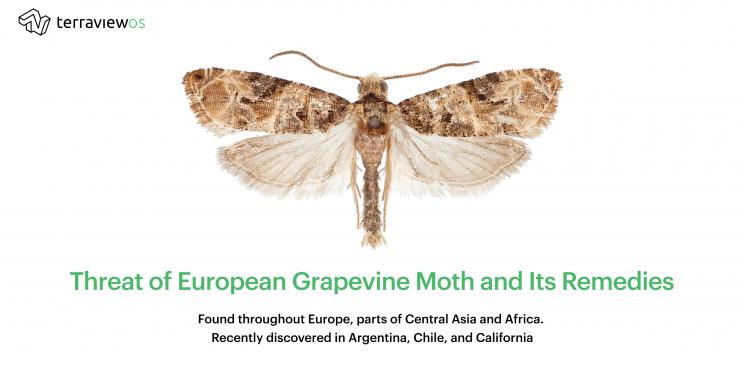 European Grapevine Moth